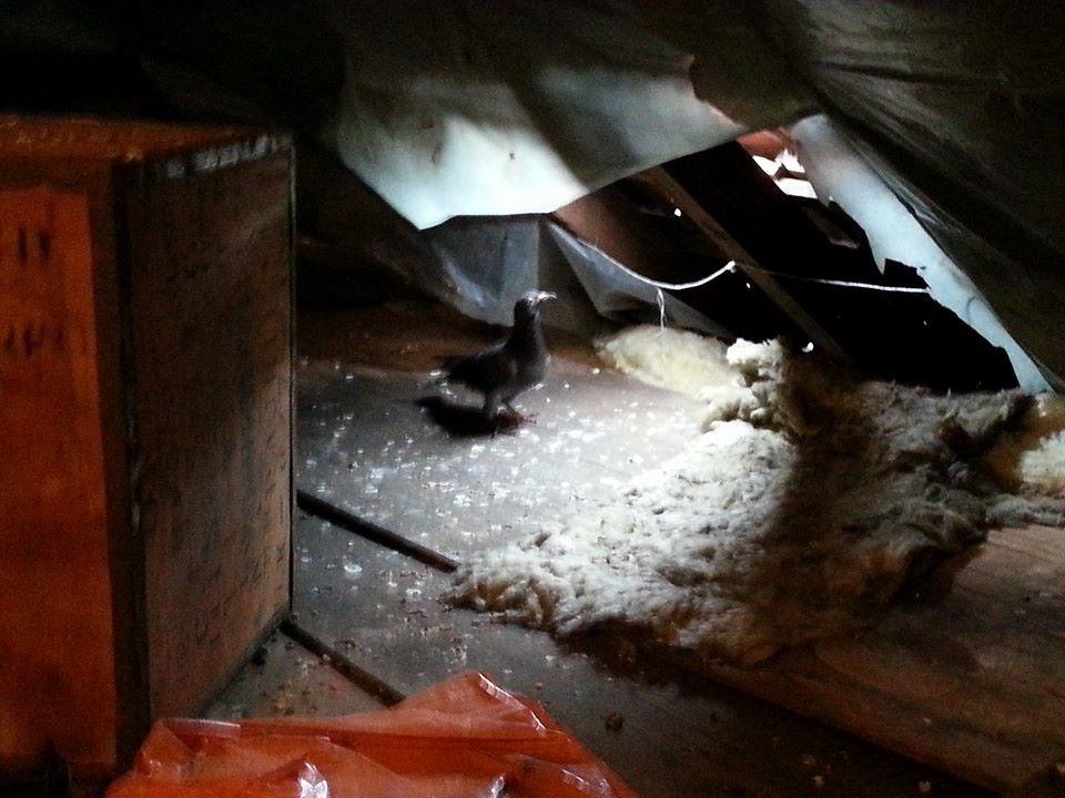 Pigeon Control Essex Amp London Solar Panels Loft Clearances