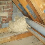 Wasps Nest Removal From Your Loft.