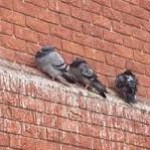 Feral Pigeon Control - Fouling